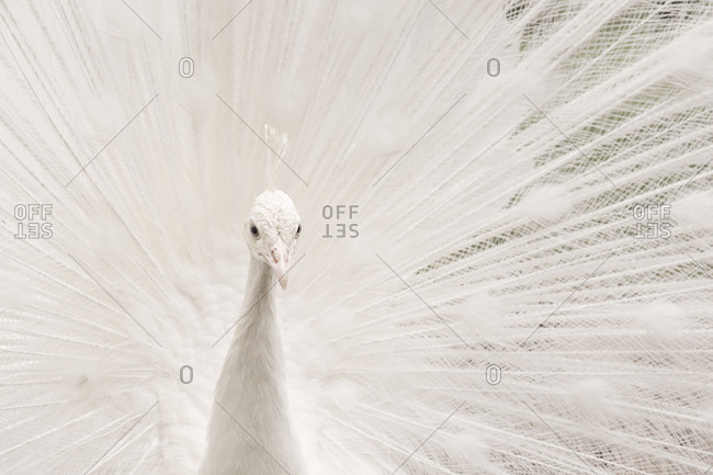 White peacock portrait, Budva Montenegro