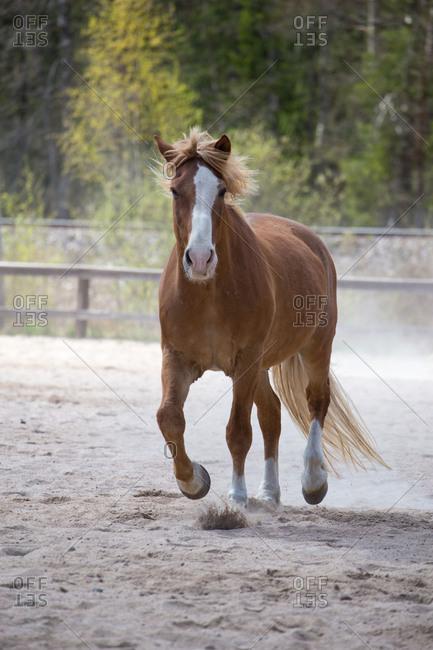 Finnish Universal Horse