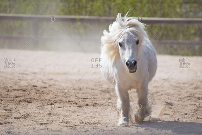 White Shetland Pony Trotting