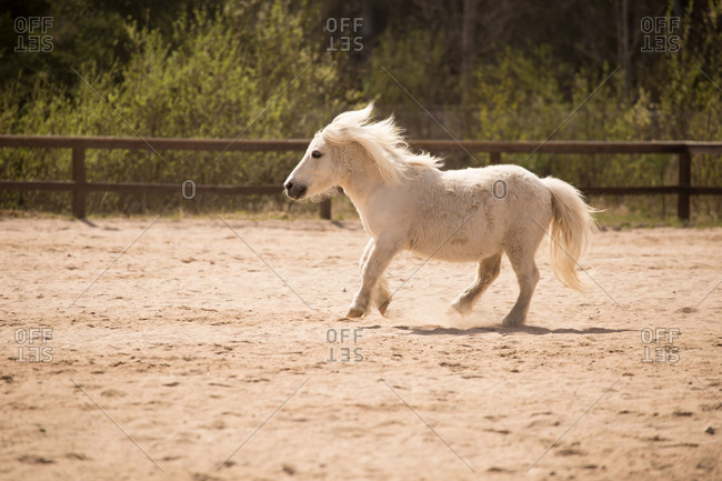 Running White Shetland Pony, green forest on a background