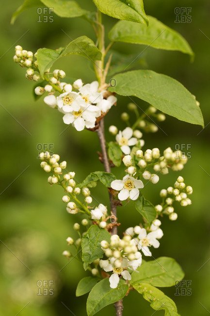 Bird Cherry branch with flowers and buds