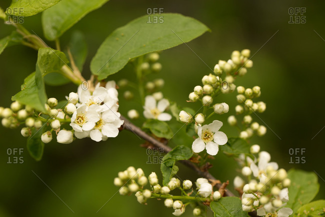 Bird Cherry branch with green leaf and white flowers, dark background