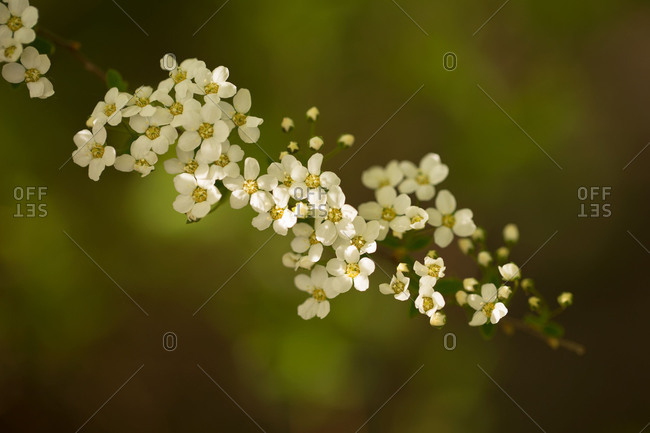 Spiraea twig with white blossom on a dark green background