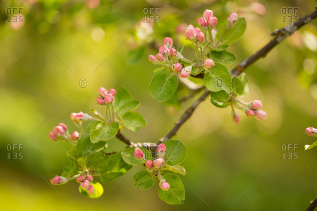 Close-up of blooming Apple Tree branch with pink flower bud on a spring green background