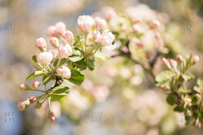 Apple Tree branch with white flowers and pink flower buds
