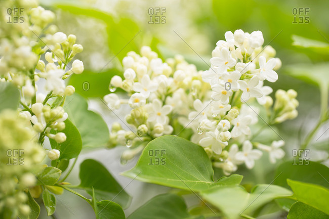 Close-up of white lilac with morning dew on a cloudy summer day, natural background