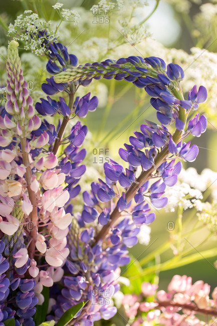 Summer flower bouquet, purple and pink lupines on a nature green background