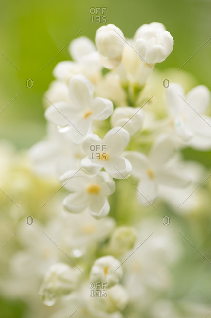 White lilac flowers with dew on a green background, summer day