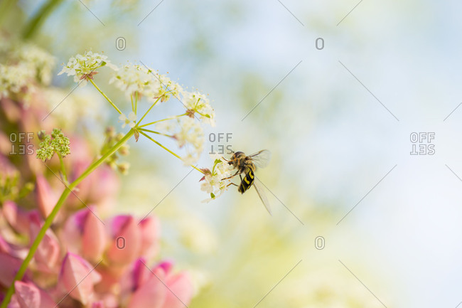 Syrphidae fly on a cow parsley, pink lupines and blue sky on a background
