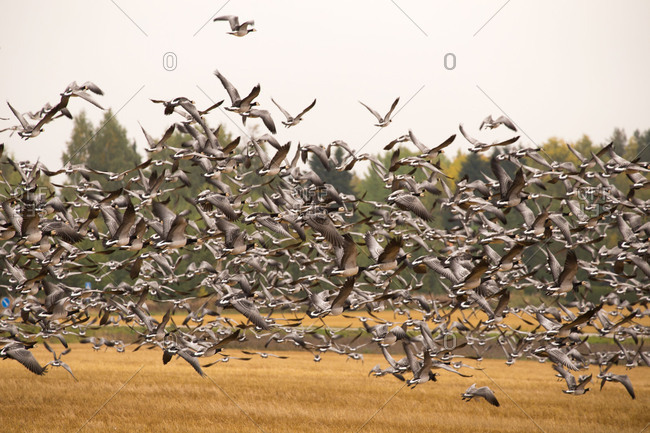 Migratory flock of birds, Barnacle goose