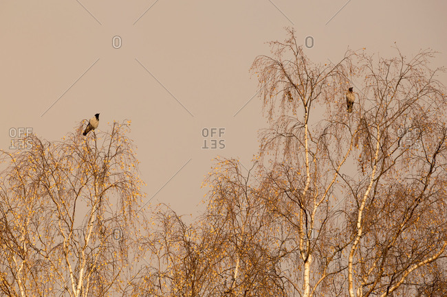 Crows sitting on the tops of the leafless birches, grey sky background