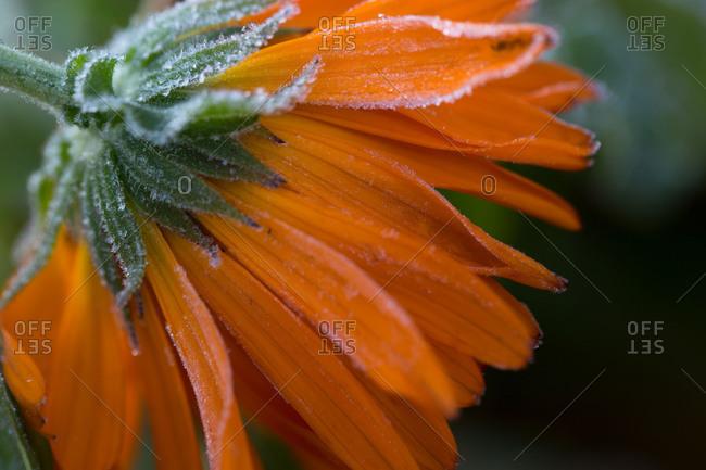 Frozen flower petals, orange marigold on a dark background