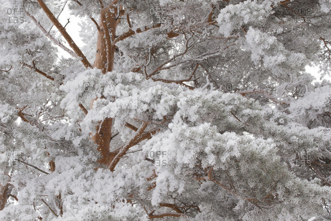 Frosted Pine branches, winter scene