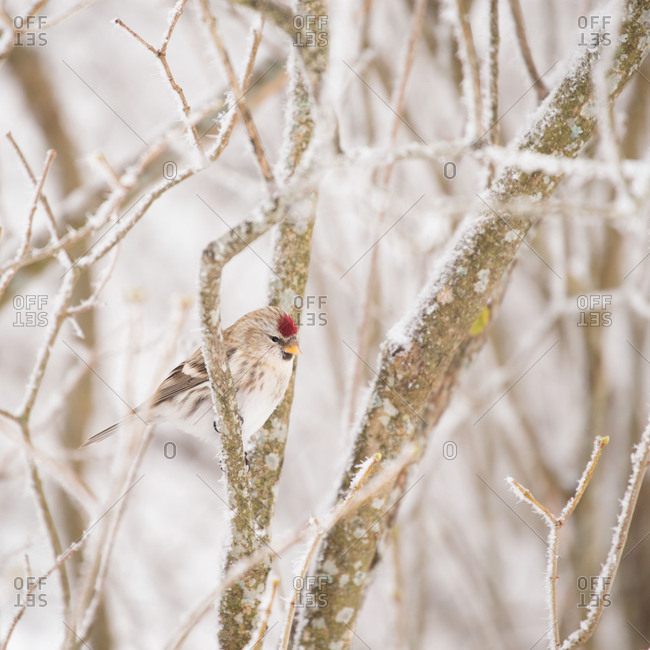 Common Redpoll bird sits on a branch