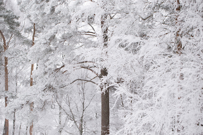 Frozen trees, covered with thick white hoarfrost, blurred background