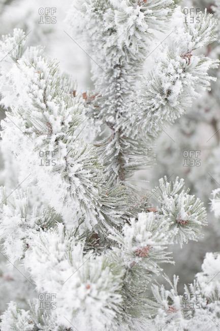 Close-up of frozen pine branches covered with thick white hoarfrost