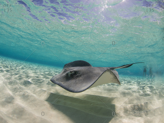 Stingray swimming underwater, Stingray City, Grand Cayman, Cayman Islands