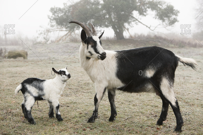 Mother and baby goat on farm
