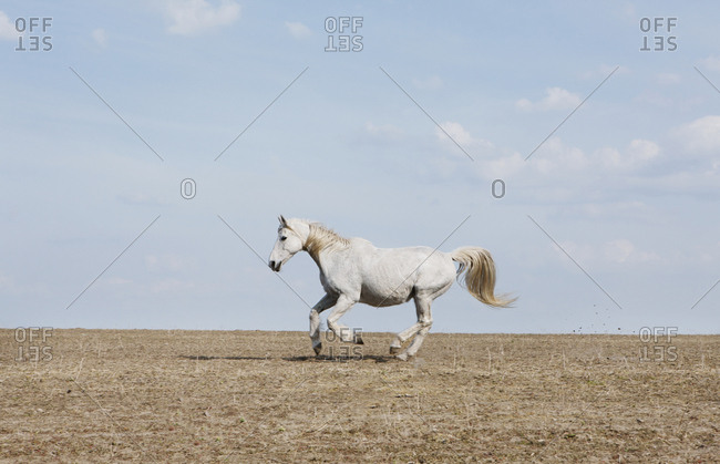 White horse running in sunny rural field