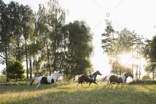 Brown and white horses running in idyllic, rural field