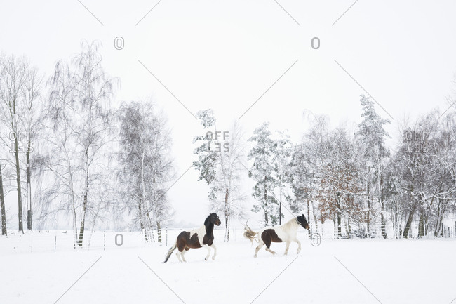Brown and white horses running in snowy field