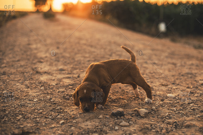 Brown puppy standing on a path smelling something at sunset