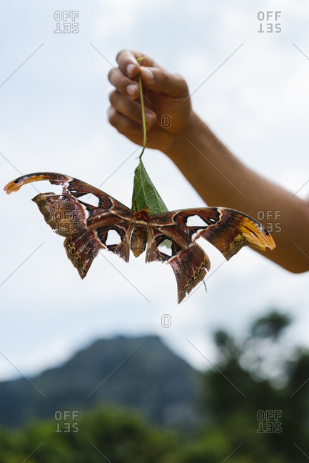 Hand holding a leave with an Atlas moth- Attacus atlas