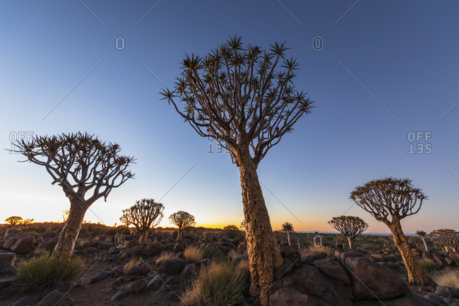 Africa- Namibia- Keetmanshoop- Quiver Tree Forest at dawn