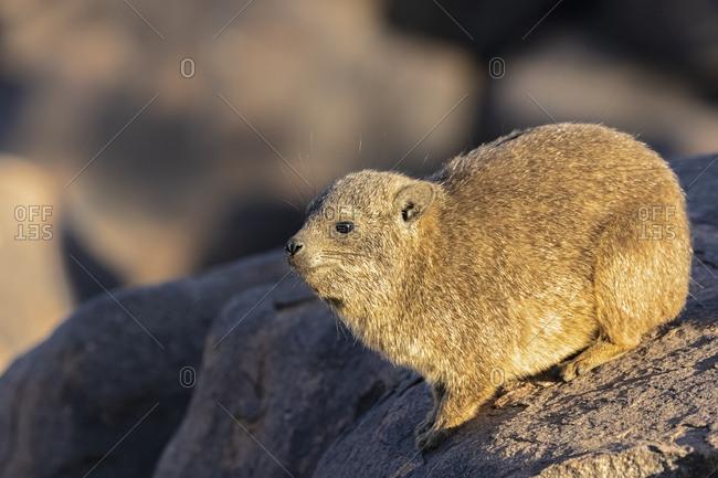 Namibia- Keetmanshoop- Rock dassie- Procavia capensis
