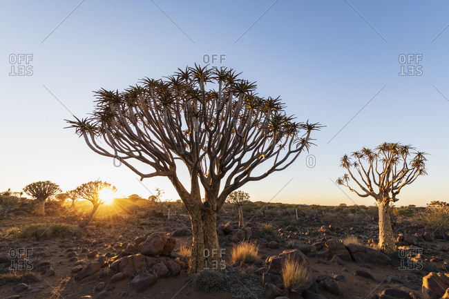 Africa- Namibia- Keetmanshoop- Quiver Tree Forest at sunrise