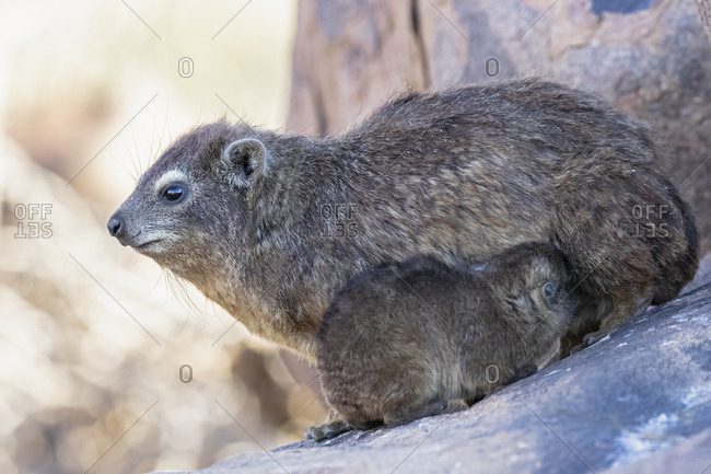 Namibia- Keetmanshoop- Rock dassie- Procavia capensis- mother and young animal- lactating