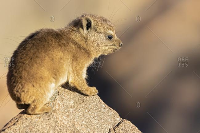 Namibia- Keetmanshoop- Rock dassie- Procavia capensis- young animal