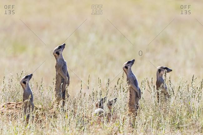 Botswana- Kgalagadi Transfrontier Park- Kalahari- Meerkats watching- looking up