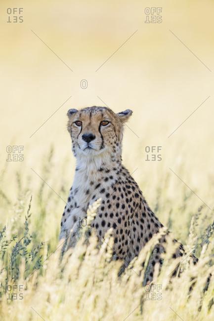 Botswana- Kgalagadi Transfrontier Park- Cheetah- Acinonyx Jubatus