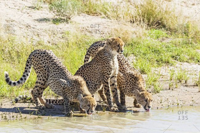 Botswana- Kgalagadi Transfrontier Park- Cheetahs- Acinonyx Jubatus- drinking