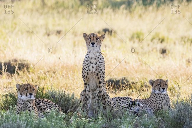 Botswana- Kgalagadi Transfrontier Park- Cheetahs- Acinonyx Jubatus