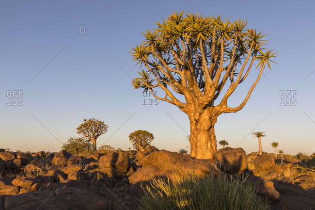 Africa- Namibia- Keetmanshoop- Quiver Tree Forest in the evening light