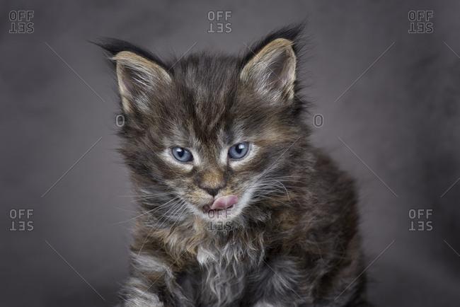 Licking Maine Coon kitten