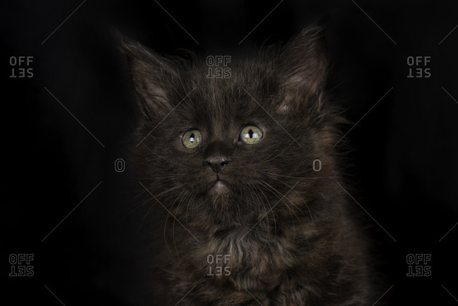 Black Maine Coon kitten in front of black background