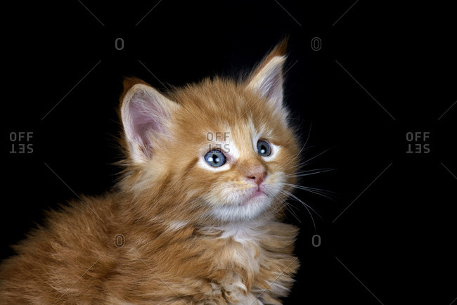 Ginger Maine Coon kitten in front of black background
