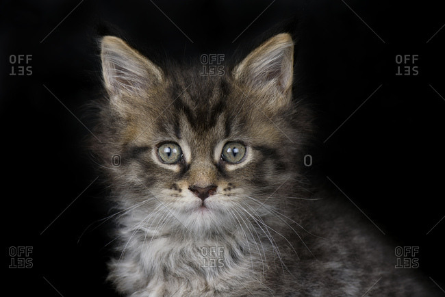 Portrait of Maine Coon kitten in front of black background
