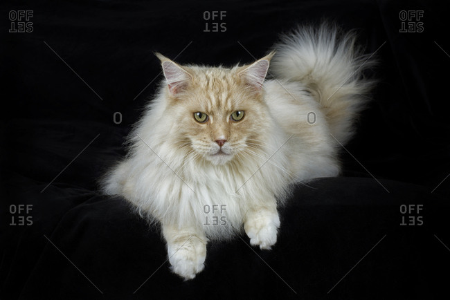 Maine Coon lying in front of black background
