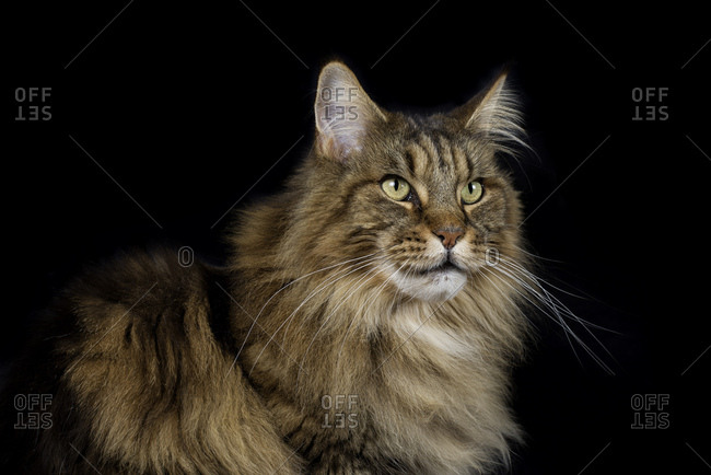 Maine Coon in front of black background