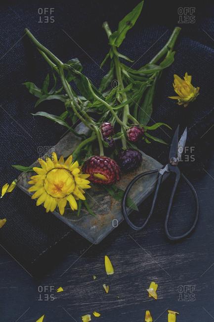 Everlasting flowers and cast-iron scissors