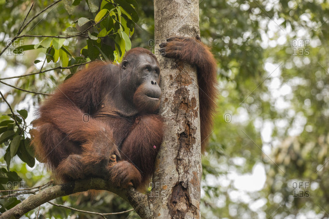 Bornean Orangutan Clinging to Tree