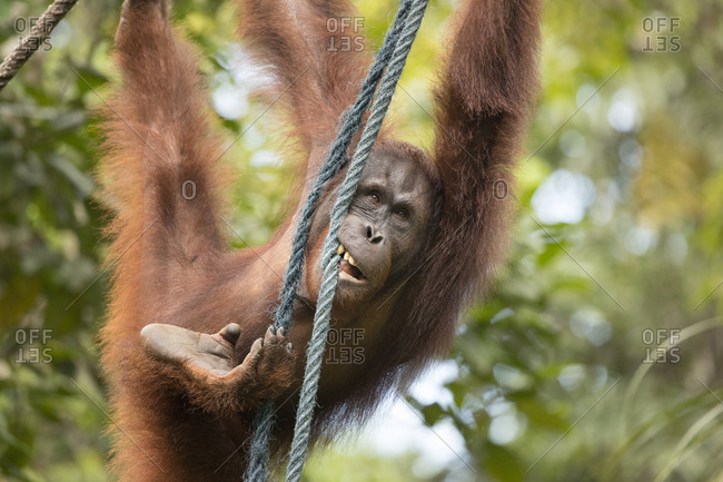 Bornean Orangutan Swinging from Vines