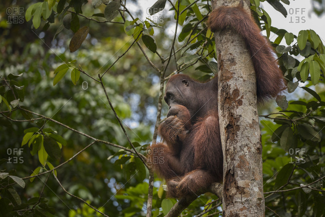 Bornean Orangutan Eats Clinging to Tree