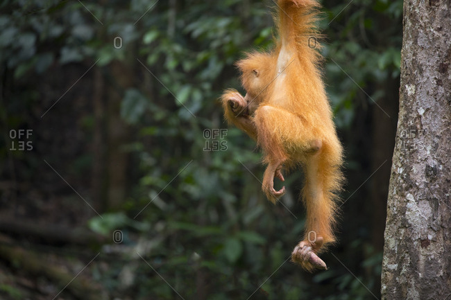 Bornean Orangutan Juvenile Looks Around While Hanging from Tree
