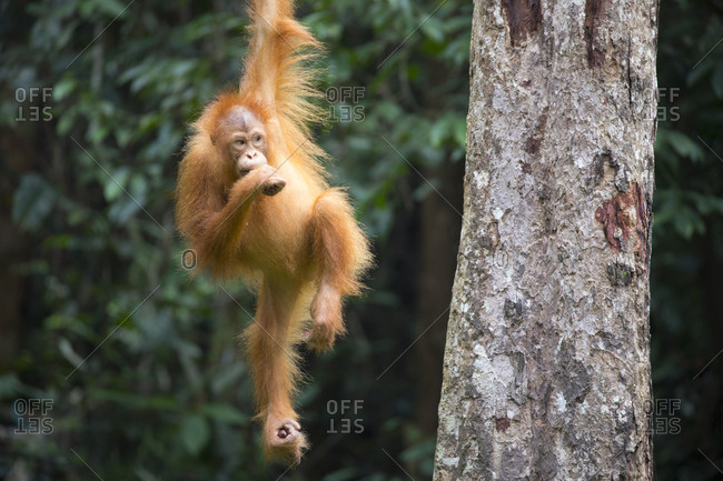 Bornean Orangutan Juvenile Hangs from Tree