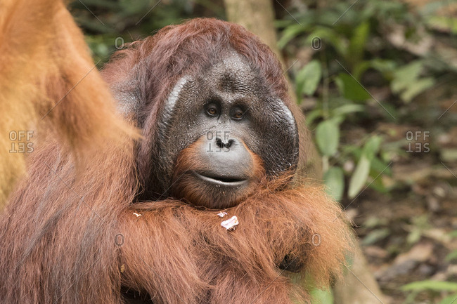 Male Bornean Flanged Orangutan Thinking About Life